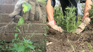 Image of weeding and planting